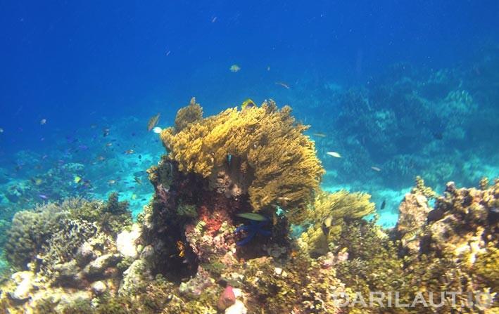 Keanekaragaman hayati laut. FOTO: DARILAUT.ID