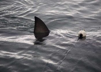 Seekor hiu putih besar di perairan Gansbaii dekat Cape Town. FOTO: PHYS.ORG