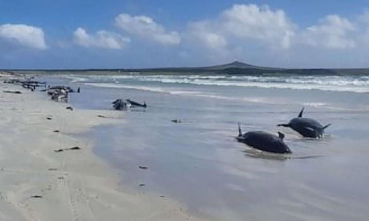 Paus pilot terdampar di Waitangi, Kepulauan Chatham Barat. FOTO: JEMMA WELCH/DOC