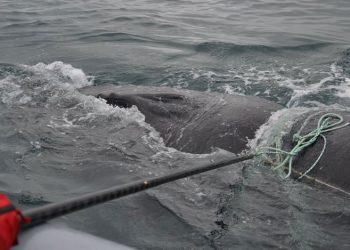 Tim Campobello Whale Rescue Team (CWRT) The Canadian Whale Institute's berhasil memotong tali yang melilit di tubuh paus bungkuk di Teluk Fundy, Kanada. FOTO: Scott Fitzgerald CWRT/Canadian Whale Institute/Facebook