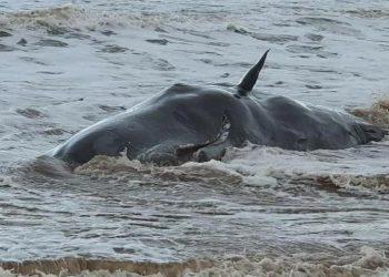 Paus sperma yang terdampar di pantai East Yorkshire, Inggris, Kamis (24/12). FOTO: EMILY MAYMAN/TWITTER