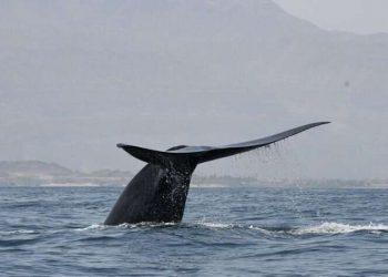Seekor paus biru di lepas pantai Laut  Oman. Peneliti menemukan populasi baru paus biru (Blue Whales) di  di Samudra Hindia bagian barat. FOTO: ROBERT BALDWIN/Environment Society of Oman
