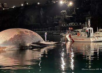 Penjaga Pantai Italia menarik bangkai paus sirip ke pelabuhan Napoli. FOTO: Coast Guard Italia