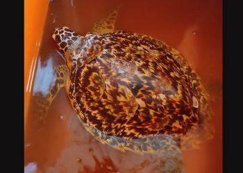Jenis penyu sisik (Eretmochelys imbricata). FOTO: KSDAE
