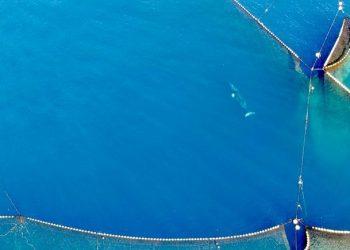 Rekaman drone terbaru paus minke yang terjebak dalam jaring di Taiji, Jepang. FOTO: Life Investigation Agency/Dolphin Project
