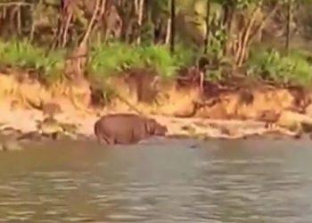 Dari 5 spesies yang ada di dunia, badak jawa paling langka dan dikategorikan sebagai critically endangered dalam Red List Data Book oleh IUCN.   GAMBAR: Konservasi Data KSDAE/YOUTUBE