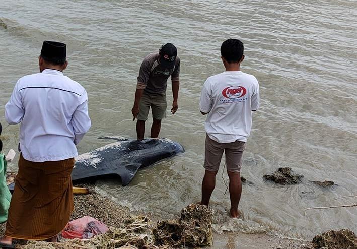 Paus Pilot yang terdampar di Pantai Madura, Kamis (18/2). FOTO: KLHK