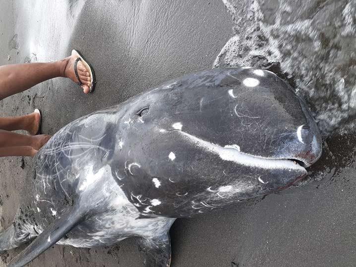 Paus pembunuh kerdil (pygmy killer whale, Feresa attenuate) ditemukan terdampar di Pantai Kalasey, Minahasa, Sulawesi Utara, Jumat (5/2). FOTO: MEIKEL PONTOLONDO/BARTA1.COM