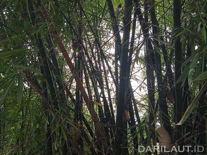 Bambu. FOTO: DARILAUT.ID