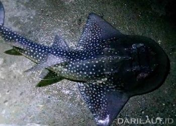 Shark ray dengan nama ilmiah Rhina ancylostoma terlihat di perairan Botubarani, Gorontalo, Rabu (17/3) malam. FOTO: DARILAUT.ID