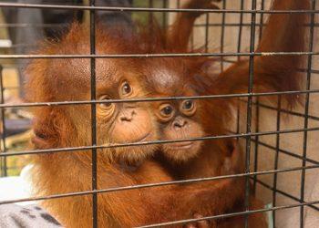 Orangutan sumatra (Pongo abelli). FOTO: KLHK