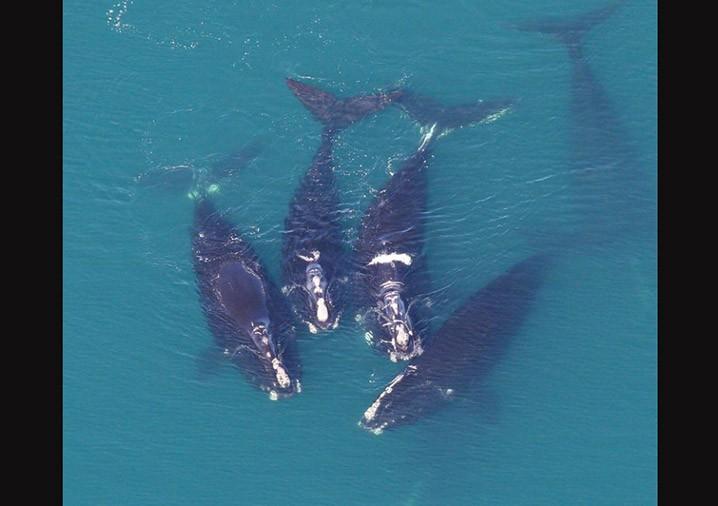 Paus sikat Atlantik Utara. FOTO: NOAA/THE REVELATOR