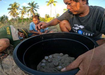 Ilustrasi telur penyu di Pulau Jinato, Taman Nasional Taka Bonerate yang ditetaskan secara semi alami. FOTO: KSDAE