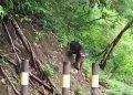 Macaca hecki, monyet endemik Sulawesi yang habitatnya hanya di Gorontalo dan Sulawesi. FOTO: DARILAUT.ID