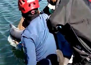 Lumba-lumba yang masuk empang di Maros dilepas kembali ke laut. FOTO: KSDAE