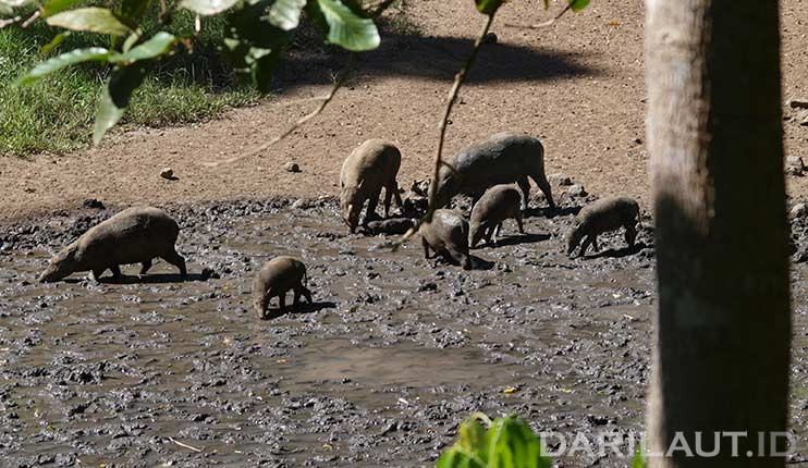 Kawanan Babirusa (Babyrousa celebensis) mengunjungi tempat berasa garam untuk mendapatkan mineral dalam membantu pencernaannya di kawasan Suaka Margasatwa Nantu, Gorontalo. FOTO: DARILAUT.ID