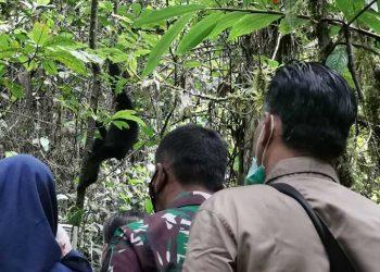 Siamang (Symphalagus syndactylus) yang dilepas kembali di areal Resort Sungai Penuh wilayah Taman Nasional Kerinci Seblat, Selasa (22/6). FOTO: KLHK