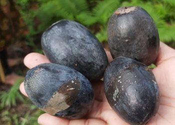 Kacang kenari dari Pulau Makian, Provinsi Maluku Utara. FOTO: KLHK