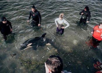 Tim penyelamat dan sukarelawan merawat bayi orca yang terdampar di Plimmerton, Wellington. FOTO: DOM THOMAS/RNZ