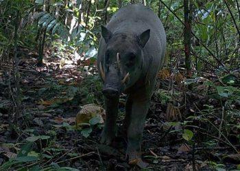 Babirusa Muluku, Babyrousa babyrussa yang ada di Pulau Buru. FOTO: KLHK