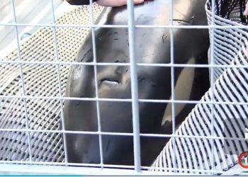 Tim penyelamat berusaha menyatukan kembali orca muda yang terdampar di Hongoeka dengan keluarganya.  1News/STUFF.CO.NZ