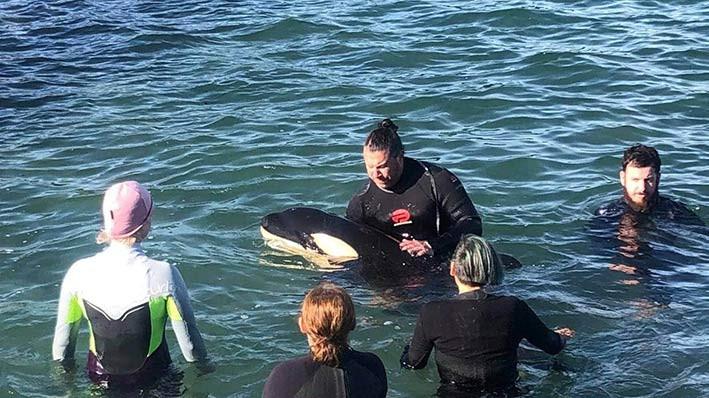Bayi orca terdampar di Selandia Baru, Minggu (11/7). Upaya pencarian untuk menyatukan kembali bayi orca tersebut dengan keluarganya masih berlangsung di utara Wellington. FOTO: GEORGIE MONIGATTI/STUFF.CO.NZ
