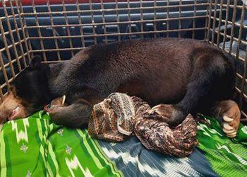 Beruang madu jantan. FOTO: KSDAE/KLHK