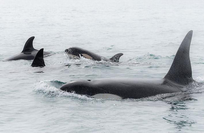 Paus orca. FOTO: NATHAN PETTIGREW/DOC