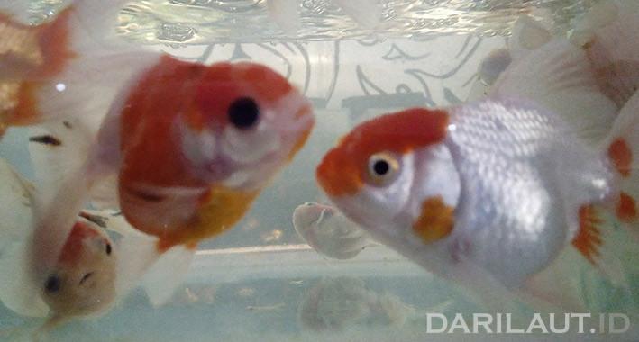 Ikan hias. FOTO: DARILAUT.ID