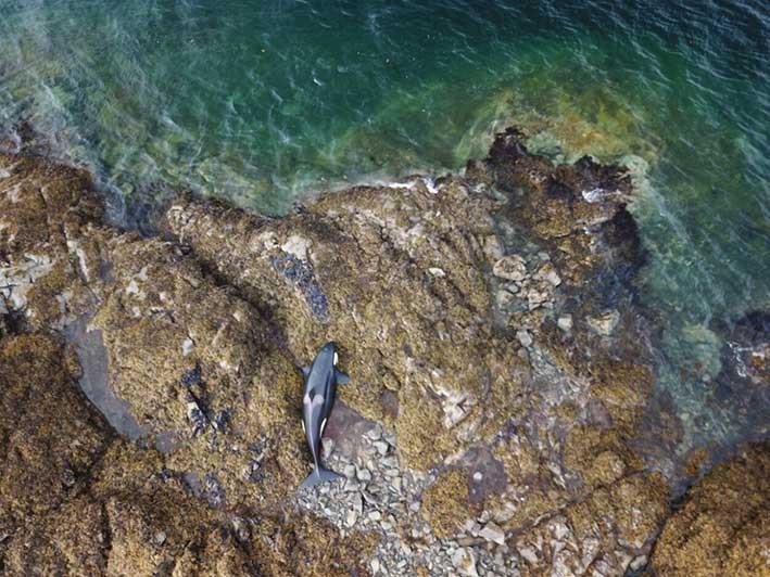 Seekor paus pembunuh yang masih juvenil terdampar di bebatuan pantai di sekitar Pulau Prince of Wales, Alaska. FOTO:  Captain Chance Strickland and Crew of M/V Steadfast via KRBD.ORG