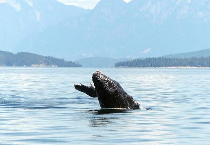 Halfpipe, paus bungkuk berusia dua tahun, pada 2019. Halfpipe ditemukan mati di pantai pada 9 Juli dengan luka di tubuhnya terkena baling-baling kapal.  FOTO: KAITLIN PAQUETTE/Discovery Marine Safaris