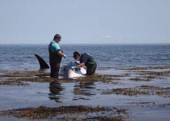 Paus minke yang mati di pantai dekat Wakefield, Rhode Island. FOTO: NBCCONNECTICUT