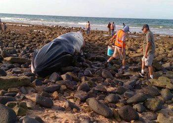 Selama 4 Jam tim penyelamat bekerja menjaga paus bungkuk ini tetap terhidrasi sampai air laut pasang dan membawanya kembali ke laut. FOTO: MEXICONEWSDAILY.COM