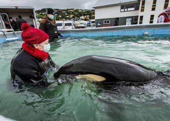 Toa, bayi orca yang terdampar di bebatuan dekat Plimmerton, utara Wellington berada di kolam renang di tempat parkir Plimmerton Boating Club. FOTO: ROSA WOODS/STUFF