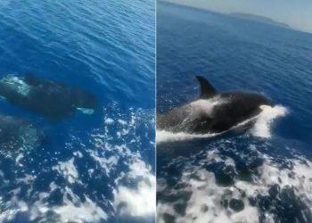 """Empat paus pembunuh mengelilingi kapal pesiar dan berulang kali """"menyerang"""". Insiden ini terjadi di lepas pantai Spanyol. FOTO:  HEATH SAMPLES/THE SCARBOROUGH NEWS"""