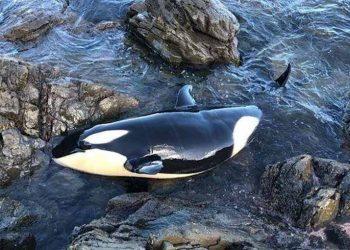 Bayi orca yang terdampar di bebatuan di pantai Selandia Baru, Minggu (11/7). FOTO: BEN NORRIS/ Yahoo News Australia