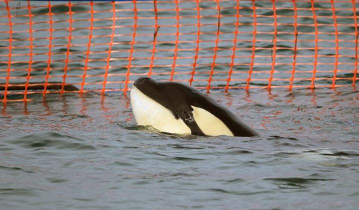 Bayi orca yang terdampar di bebatuan Plimmerton Minggu (11/7) diberi nama Toa, FOTO: LEON BERARD/DOC