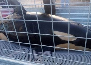 Bayi orca terdampar di Hongoeka Hongoeka, Selandia Baru, Minggu (11/7). FOTO: STUFF.CO.NZ