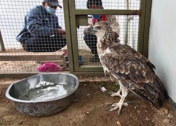 Burung elang brontok, Nisaetus cirhatus. FOTO: KSDAE/KLHK