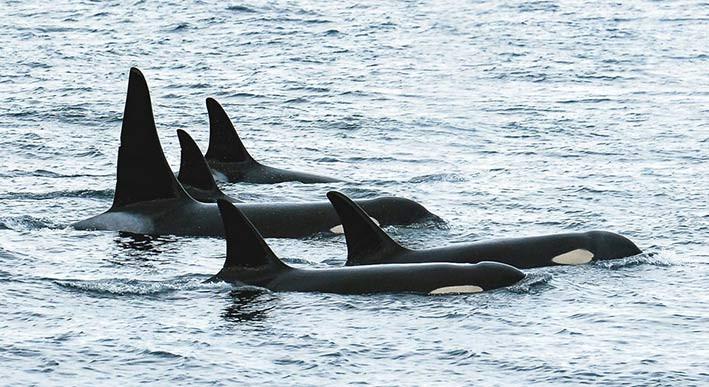 Paus Pembunuh, killer whale. FOTO: WILDORCA.ORG