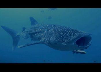 Ikan Hiu paus (Rhincodon typus). YOUTUBE/SEBUMI.ID