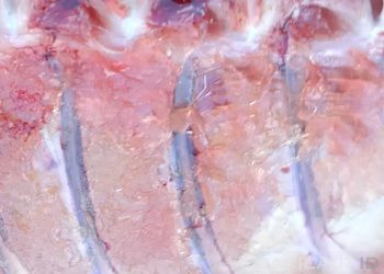 Tulang ikan. FOTO: DARILAUT.ID