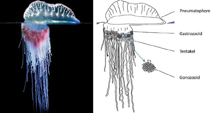 Ubur-ubur api (Physalia physalis) dan ilustrasi struktur keempat zooidnya. (Dunn, Pugh, & Haddock (2005) dan Munro et al. (2019)/FIRDAUS (2020)