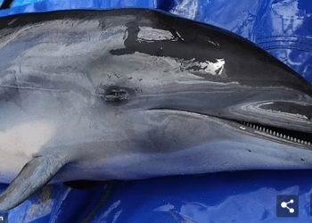 Strain baru morbillivirus, penyakit mamalia laut yang mematikan, telah terdeteksi pada lumba-lumba Fraser yang terdampar di Maui, Hawaii pada tahun 2018. FOTO: VIA DAILYMAIL.CO.UK