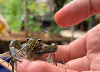 Lobster air tawar (Cherax quadricarinatus). FOTO: UGM.AC.ID