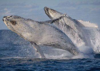 Paus bungkuk saat melakukan migrasi tahunan. FOTO: Go Whale Watching VIA ABC.NET.AU