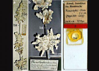 Spons kaca Monorhaphis chuni yang dideskripsikan oleh Franz Eilhard Schulze (1904)  dari Institut Zoologi University of Rostock. FOTO: Müller (2007) – Jurnal Cell and Tissue Research