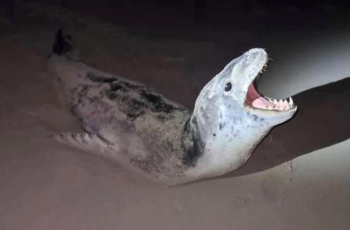 Video TikTok Flynn Webb yang mendekati anjing laut telah ditonton hampir 16 juta kali. FOTO: VIA ABC.NET.AU