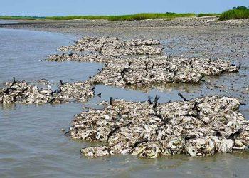 Terumbu tiram setelah selesai ditempatkan di laut, akan terlihat saat air surut dan tenggelam saat air pasang. FOTO: BRIAN KINARD/PEWTRUSTS.ORG