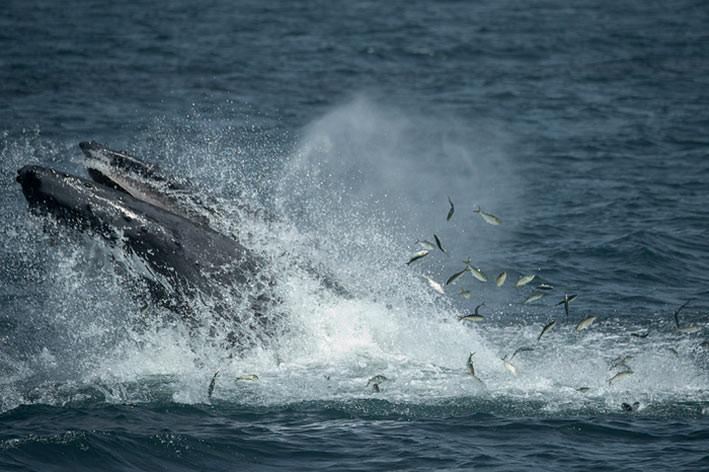 Sebuah studi terbaru menemukan bahwa beberapa spesies paus berukuran besar, termasuk paus bungkuk (humpback), menggunakan perairan di lepas pantai New York dan New Jersey sebagai area makan tambahan . FOTO: JULIE LARSEN MAHER/EUREKALERT.ORG